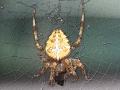 Spinne-Nahrungsaufnahme-Verfremdung