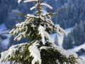Fichte-mit-Schnee
